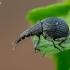 Apionas - Oxystoma cerdo | Fotografijos autorius : Oskaras Venckus | © Macrogamta.lt | Šis tinklapis priklauso bendruomenei kuri domisi makro fotografija ir fotografuoja gyvąjį makro pasaulį.