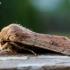 Mažasis ankstyvasis pelėdgalvis - Orthosia cruda | Fotografijos autorius : Oskaras Venckus | © Macrogamta.lt | Šis tinklapis priklauso bendruomenei kuri domisi makro fotografija ir fotografuoja gyvąjį makro pasaulį.