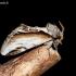 Beržinis kuodis - Pheosia gnoma | Fotografijos autorius : Oskaras Venckus | © Macrogamta.lt | Šis tinklapis priklauso bendruomenei kuri domisi makro fotografija ir fotografuoja gyvąjį makro pasaulį.
