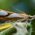 Pušyninis samaninukas - Catoptria pinella | Fotografijos autorius : Oskaras Venckus | © Macrogamta.lt | Šis tinklapis priklauso bendruomenei kuri domisi makro fotografija ir fotografuoja gyvąjį makro pasaulį.