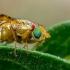 Margasparnė - Chaetostomella cylindrica  | Fotografijos autorius : Oskaras Venckus | © Macrogamta.lt | Šis tinklapis priklauso bendruomenei kuri domisi makro fotografija ir fotografuoja gyvąjį makro pasaulį.