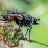Dygliamusė - Eriothrix rufomaculata  | Fotografijos autorius : Oskaras Venckus | © Macrogamta.lt | Šis tinklapis priklauso bendruomenei kuri domisi makro fotografija ir fotografuoja gyvąjį makro pasaulį.