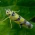 Cikadelė - Eupteryx atropunctata | Fotografijos autorius : Oskaras Venckus | © Macrogamta.lt | Šis tinklapis priklauso bendruomenei kuri domisi makro fotografija ir fotografuoja gyvąjį makro pasaulį.