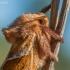 Gelsvasis šakniagraužis - Trioda sylvina | Fotografijos autorius : Oskaras Venckus | © Macrogamta.lt | Šis tinklapis priklauso bendruomenei kuri domisi makro fotografija ir fotografuoja gyvąjį makro pasaulį.