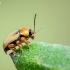 Geltonasis paslėptagalvis - Cryptocephalus fulvus | Fotografijos autorius : Oskaras Venckus | © Macrogamta.lt | Šis tinklapis priklauso bendruomenei kuri domisi makro fotografija ir fotografuoja gyvąjį makro pasaulį.