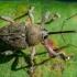 Gilinis vaisiastraublis - Curculio glandium  | Fotografijos autorius : Oskaras Venckus | © Macrogamta.lt | Šis tinklapis priklauso bendruomenei kuri domisi makro fotografija ir fotografuoja gyvąjį makro pasaulį.