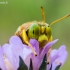 Ilgažandis bembiksas - Bembix rostrata  | Fotografijos autorius : Oskaras Venckus | © Macrogamta.lt | Šis tinklapis priklauso bendruomenei kuri domisi makro fotografija ir fotografuoja gyvąjį makro pasaulį.