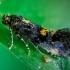 Dėmėtoji chrysestija - Chrysoesthia sexguttella  | Fotografijos autorius : Oskaras Venckus | © Macrogamta.lt | Šis tinklapis priklauso bendruomenei kuri domisi makro fotografija ir fotografuoja gyvąjį makro pasaulį.