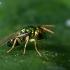 Chalcidas - Pteromalidae sp.   Fotografijos autorius : Oskaras Venckus   © Macrogamta.lt   Šis tinklapis priklauso bendruomenei kuri domisi makro fotografija ir fotografuoja gyvąjį makro pasaulį.
