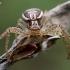 Paprastasis krabvoris - Xysticus cristatus  | Fotografijos autorius : Oskaras Venckus | © Macrogamta.lt | Šis tinklapis priklauso bendruomenei kuri domisi makro fotografija ir fotografuoja gyvąjį makro pasaulį.