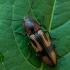 Kryžiuotasis rugiaspragšis - Selatosomus cruciatus  | Fotografijos autorius : Oskaras Venckus | © Macrogamta.lt | Šis tinklapis priklauso bendruomenei kuri domisi makro fotografija ir fotografuoja gyvąjį makro pasaulį.