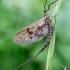 Lašalas - Ephemeroptera sp. | Fotografijos autorius : Oskaras Venckus | © Macrogamta.lt | Šis tinklapis priklauso bendruomenei kuri domisi makro fotografija ir fotografuoja gyvąjį makro pasaulį.
