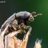 Margasis karnagraužis - Hylesinus varius   Fotografijos autorius : Oskaras Venckus   © Macrogamta.lt   Šis tinklapis priklauso bendruomenei kuri domisi makro fotografija ir fotografuoja gyvąjį makro pasaulį.
