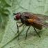 Tikramusė - Mydaea corni | Fotografijos autorius : Oskaras Venckus | © Macrogamta.lt | Šis tinklapis priklauso bendruomenei kuri domisi makro fotografija ir fotografuoja gyvąjį makro pasaulį.