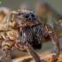 Paprastasis slampinėlis - Trochosa terricola | Fotografijos autorius : Oskaras Venckus | © Macrogamta.lt | Šis tinklapis priklauso bendruomenei kuri domisi makro fotografija ir fotografuoja gyvąjį makro pasaulį.