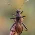 Paprastoji pentinblakė - Alydus calcaratus | Fotografijos autorius : Oskaras Venckus | © Macrogamta.lt | Šis tinklapis priklauso bendruomenei kuri domisi makro fotografija ir fotografuoja gyvąjį makro pasaulį.