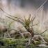 Paprastoji pušis - Pinus sylvestris | Fotografijos autorius : Oskaras Venckus | © Macrogamta.lt | Šis tinklapis priklauso bendruomenei kuri domisi makro fotografija ir fotografuoja gyvąjį makro pasaulį.