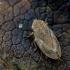 Paprastoji seiliūgė - Philaenus spumarius  | Fotografijos autorius : Oskaras Venckus | © Macrogamta.lt | Šis tinklapis priklauso bendruomenei kuri domisi makro fotografija ir fotografuoja gyvąjį makro pasaulį.