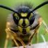 Paprastoji vapsva - Vespula vulgaris | Fotografijos autorius : Oskaras Venckus | © Macrogamta.lt | Šis tinklapis priklauso bendruomenei kuri domisi makro fotografija ir fotografuoja gyvąjį makro pasaulį.
