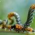 Pjūklelis - Nematus miliaris | Fotografijos autorius : Oskaras Venckus | © Macrogamta.lt | Šis tinklapis priklauso bendruomenei kuri domisi makro fotografija ir fotografuoja gyvąjį makro pasaulį.
