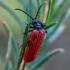 Žiedvabalis - Platycis minutus | Fotografijos autorius : Oskaras Venckus | © Macrogamta.lt | Šis tinklapis priklauso bendruomenei kuri domisi makro fotografija ir fotografuoja gyvąjį makro pasaulį.