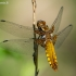 Plokščioji skėtė - Libellula depressa | Fotografijos autorius : Oskaras Venckus | © Macrogamta.lt | Šis tinklapis priklauso bendruomenei kuri domisi makro fotografija ir fotografuoja gyvąjį makro pasaulį.