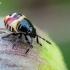 Rausvasparnė skydblakė - Carpocoris purpureipennis, nimfa | Fotografijos autorius : Oskaras Venckus | © Macrogamta.lt | Šis tinklapis priklauso bendruomenei kuri domisi makro fotografija ir fotografuoja gyvąjį makro pasaulį.