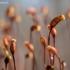 Lenktagalvė polija - Pohlia nutans | Fotografijos autorius : Oskaras Venckus | © Macrogamta.lt | Šis tinklapis priklauso bendruomenei kuri domisi makro fotografija ir fotografuoja gyvąjį makro pasaulį.