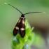 Mažoji ilgaūsė makštinė kandis - Cauchas fibulella  | Fotografijos autorius : Oskaras Venckus | © Macrogamta.lt | Šis tinklapis priklauso bendruomenei kuri domisi makro fotografija ir fotografuoja gyvąjį makro pasaulį.