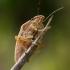 Smailiagalvė skydblakė - Aelia acuminata | Fotografijos autorius : Oskaras Venckus | © Macrogamta.lt | Šis tinklapis priklauso bendruomenei kuri domisi makro fotografija ir fotografuoja gyvąjį makro pasaulį.