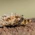 Tribriaunis maišuotis - Dachlica triquetrella, vikšras | Fotografijos autorius : Oskaras Venckus | © Macrogamta.lt | Šis tinklapis priklauso bendruomenei kuri domisi makro fotografija ir fotografuoja gyvąjį makro pasaulį.