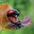 Drebulinis gluosninukas - Chrysomela tremula  | Fotografijos autorius : Oskaras Venckus | © Macrogamta.lt | Šis tinklapis priklauso bendruomenei kuri domisi makro fotografija ir fotografuoja gyvąjį makro pasaulį.