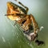 Viengubris kūgiavoris - Cyclosa conica  | Fotografijos autorius : Oskaras Venckus | © Macrogamta.lt | Šis tinklapis priklauso bendruomenei kuri domisi makro fotografija ir fotografuoja gyvąjį makro pasaulį.