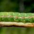 Dobilinis pelėdgalvis - Anarta (=Discestra) trifolii, vikšras | Fotografijos autorius : Oskaras Venckus | © Macrogamta.lt | Šis tinklapis priklauso bendruomenei kuri domisi makro fotografija ir fotografuoja gyvąjį makro pasaulį.