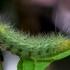 Gelsvoji meškutė - Spilosoma lutea, jaunas vikšras | Fotografijos autorius : Oskaras Venckus | © Macrogamta.lt | Šis tinklapis priklauso bendruomenei kuri domisi makro fotografija ir fotografuoja gyvąjį makro pasaulį.