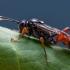 Vytis - Anisobas platystylus    Fotografijos autorius : Oskaras Venckus   © Macrogamta.lt   Šis tinklapis priklauso bendruomenei kuri domisi makro fotografija ir fotografuoja gyvąjį makro pasaulį.