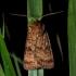 Tamsiajuostis dirvinukas - Xestia sexstrigata | Fotografijos autorius : Oskaras Venckus | © Macrogamta.lt | Šis tinklapis priklauso bendruomenei kuri domisi makro fotografija ir fotografuoja gyvąjį makro pasaulį.