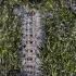 Neporinis verpikas - Lymantria dispar, vikšras | Fotografijos autorius : Zita Gasiūnaitė | © Macrogamta.lt | Šis tinklapis priklauso bendruomenei kuri domisi makro fotografija ir fotografuoja gyvąjį makro pasaulį.