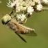 Sparva - Atylotus rusticus | Fotografijos autorius : Aleksandras Riabčikovas | © Macrogamta.lt | Šis tinklapis priklauso bendruomenei kuri domisi makro fotografija ir fotografuoja gyvąjį makro pasaulį.