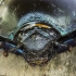 Mėšlavabalio (Geotrupes sp.) portretas | Fotografijos autorius : Giedrius Markevičius | © Macrogamta.lt | Šis tinklapis priklauso bendruomenei kuri domisi makro fotografija ir fotografuoja gyvąjį makro pasaulį.