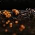 Apgaulusis krekenis - Trichia decipiens    Fotografijos autorius : Eglė (Černevičiūtė) Vičiuvienė   © Macrogamta.lt   Šis tinklapis priklauso bendruomenei kuri domisi makro fotografija ir fotografuoja gyvąjį makro pasaulį.