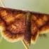 Pelkinis sprindžiukas - Idaea muricata | Fotografijos autorius : Eglė (Černevičiūtė) Vičiuvienė | © Macrogamta.lt | Šis tinklapis priklauso bendruomenei kuri domisi makro fotografija ir fotografuoja gyvąjį makro pasaulį.