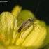 Keturtaškė žolblakė - Adelphocoris quadripunctatus | Fotografijos autorius : Žilvinas Pūtys | © Macrogamta.lt | Šis tinklapis priklauso bendruomenei kuri domisi makro fotografija ir fotografuoja gyvąjį makro pasaulį.