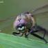Smaragdinė skėtė - Somatochlora metallica | Fotografijos autorius : Žilvinas Pūtys | © Macrogamta.lt | Šis tinklapis priklauso bendruomenei kuri domisi makro fotografija ir fotografuoja gyvąjį makro pasaulį.