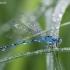 Mėlynoji strėliukė - Enallagma cyathigerum | Fotografijos autorius : Žilvinas Pūtys | © Macrogamta.lt | Šis tinklapis priklauso bendruomenei kuri domisi makro fotografija ir fotografuoja gyvąjį makro pasaulį.