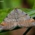 Pušinis miškasprindis - Macaria liturata | Fotografijos autorius : Žilvinas Pūtys | © Macrogamta.lt | Šis tinklapis priklauso bendruomenei kuri domisi makro fotografija ir fotografuoja gyvąjį makro pasaulį.