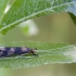Plonaūsė apsiuva - Mystacides longicornis   Fotografijos autorius : Žilvinas Pūtys   © Macrogamta.lt   Šis tinklapis priklauso bendruomenei kuri domisi makro fotografija ir fotografuoja gyvąjį makro pasaulį.