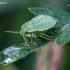 Medinė skydblakė - Palomena prasina, nimfa | Fotografijos autorius : Žilvinas Pūtys | © Macrogamta.lt | Šis tinklapis priklauso bendruomenei kuri domisi makro fotografija ir fotografuoja gyvąjį makro pasaulį.