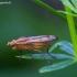 Sraigžudė - Tetanocera elata | Fotografijos autorius : Žilvinas Pūtys | © Macrogamta.lt | Šis tinklapis priklauso bendruomenei kuri domisi makro fotografija ir fotografuoja gyvąjį makro pasaulį.