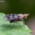 Sraigžudė - Trypetoptera punctulata   Fotografijos autorius : Žilvinas Pūtys   © Macrogamta.lt   Šis tinklapis priklauso bendruomenei kuri domisi makro fotografija ir fotografuoja gyvąjį makro pasaulį.